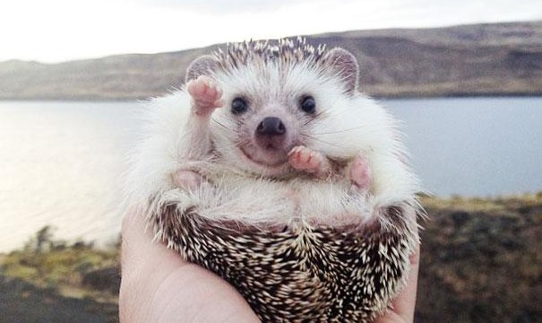 Biddy, the hedgehog. Ariciul calator de pe Instagram