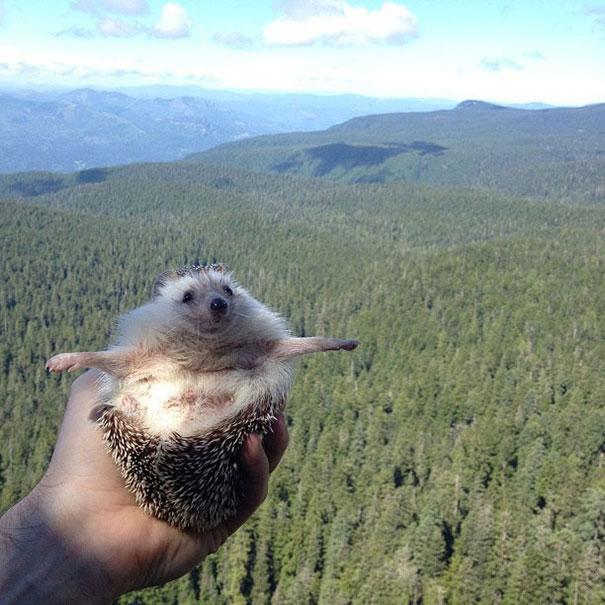 Biddy, the hedgehog. Ariciul calator de pe Instagram